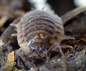 Kinesis (biology) - Woodlouse activity decreases as humidity increases.