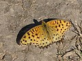 Open wing position of Male Argynnis hyperbius Linnaeus, 1763 – Tropical Fritillary WLB IMG 1469 (7) (cropped).jpg