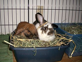 Two house rabbits in their litter box Openlitterbox.JPG