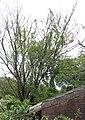 Ophiostoma ulmi on Ulmus hollandica 'Wredei'.jpg