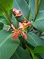 Orange Canna Lily (1).jpg