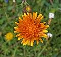 Orange flower 2.jpg