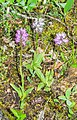Orchis italica in Lozere (1).jpg
