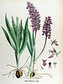 Orchis mascula — Flora Batava — Volume v17.jpg
