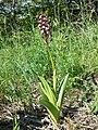 Orchis purpurea sl27.jpg