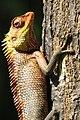 Oriental Garden Lizard, (Calotes versicolor), Mayannur, Thrissur, Kerala.jpg