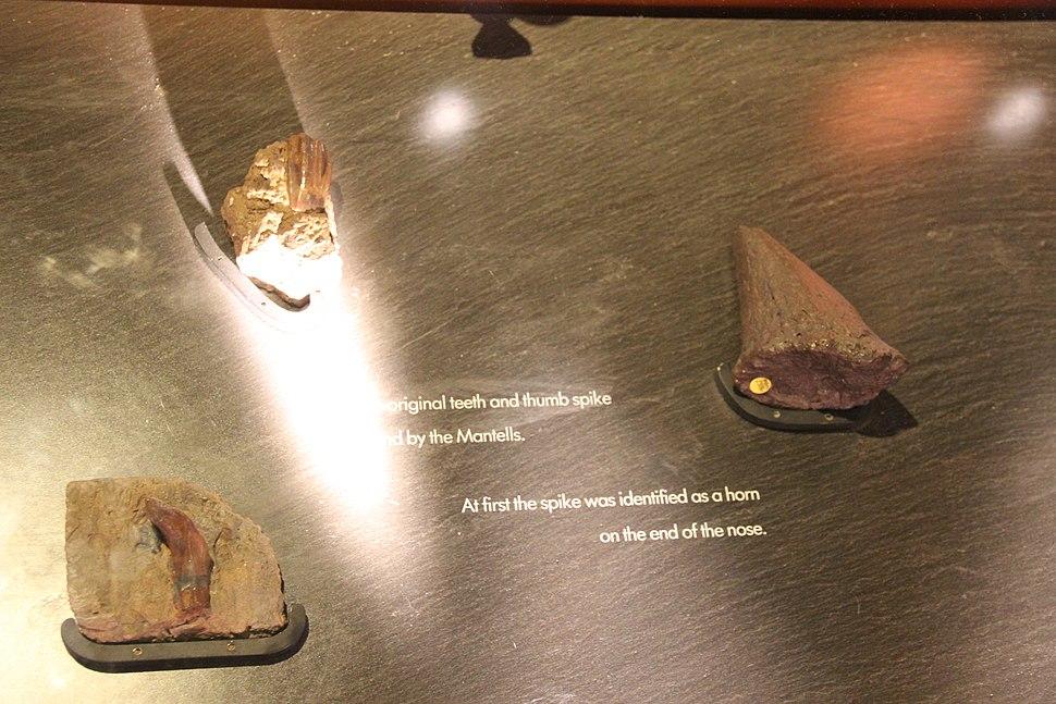 Original Iguanodon teeth and thumb spike
