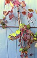Ornamental grapevine.jpg