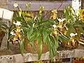 Orquídea(Orchidaceae) - Jardim Botânico de São Paulo - panoramio.jpg