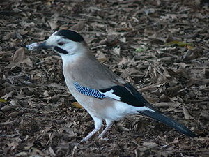 Eurasian jay - A typical example of the atricapillus group in Israel