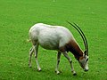 Oryx dammah -Marwell Wildlife, Hampshire, England-8a (1).jpg