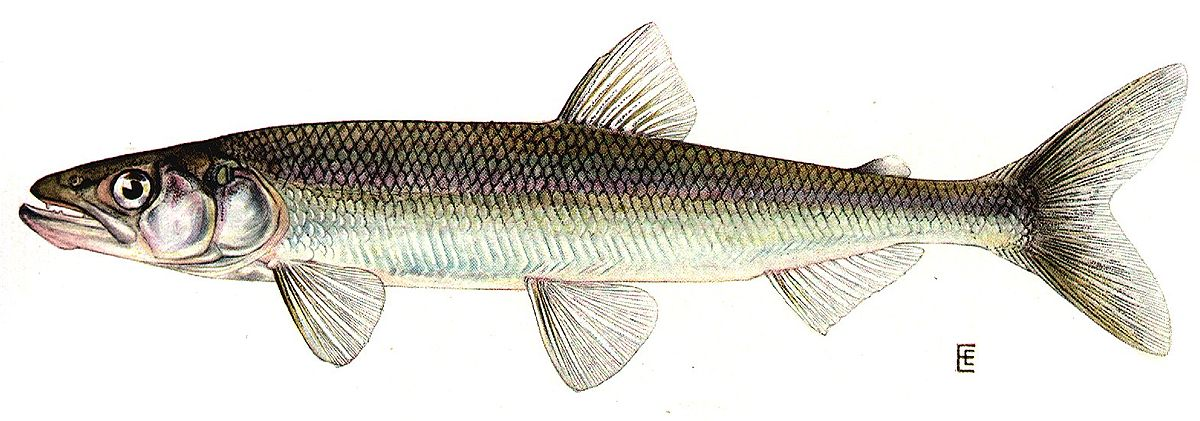 Rainbow smelt - Wikipedia