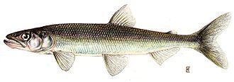Rainbow smelt - Image: Osmerus mordax