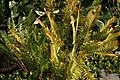 Osmunda cinnamomea 19zz.jpg