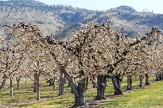 Osoyoos - Osoyoos fruit trees in April