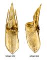 Othius subuliformis Stephens, 1833 Genital.png