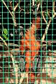 Pájara La Lajita - Oasis Park - Saguinus labiatus 03 ies.jpg