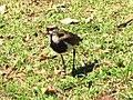 Pássaro em Ivoti 001.jpg