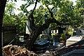 Père-Lachaise - Division 4 - arbre déraciné 04.jpg