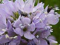 P1000381 Gilia capitata (Queen Anne's Thimble) () Flower