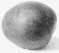 PSM V66 D228 The plumcot a new fruit.png