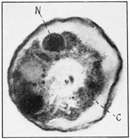 PSM V79 D580 Arcella specimens contain two primary nuclei.png
