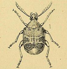 Callosobruchus chinensis  Wikipedia