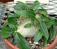 Pachypodium brevicaule 1