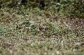 Paddyfield Pipit Vellode Bird Sanctuary JEG6649.jpg