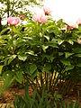 Paeonia Hybride lactiflora europäische Wildstaude.jpg