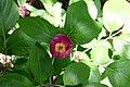 Paeonia obovata flower 001.JPG