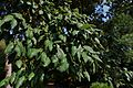 Painshill Park Leaves from the Cork Oak situated at the edge of the amphitheatre.JPG