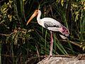 Painted Stork2.jpg