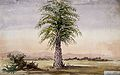 Palm tree (Cocos nucifera?) in arid landscape. Watercolour, Wellcome V0043513.jpg