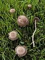 Panaeolus cinctulus.jpg