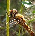 Pantala flavescens - Flickr - gailhampshire.jpg