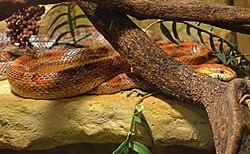 Pantherophis guttatus - Nantes.jpg