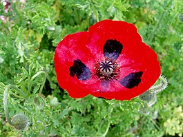 Papaver commutatum Lady Bird.jpg