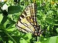 Papilio canadensis (Papilionidae) - (imago), Lamoille (VT), United States - 3.jpg