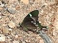 Papilio crino from Melagiri TN IMG 6467.jpg
