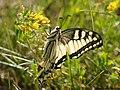 Papilio machaon 11.JPG