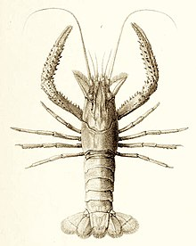 Paranephrops planifrons from The zoology of the voyage of the H.M.S. Erebus and Terror.jpg