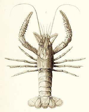 Paranephrops - Northern koura, P. planifrons