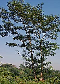 Pohon jeungjing, Paraserianthes falcataria dari Darmaga, Bogor
