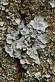 Parmelia sulcata (41048045281).jpg