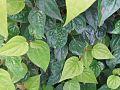 Parn leaf.jpg