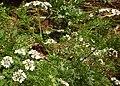Parsley white flower.jpg