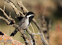 Parus afer -Namaqua National Park, Northern Cape, South Africa -juvenile-8.jpg