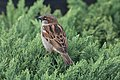 Passer domesticus perched on Thuja occidentalis, facing away.jpg