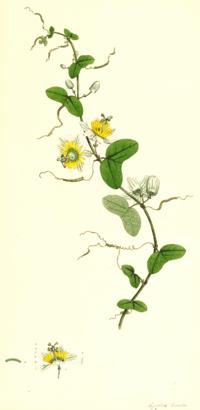 Passiflora biflora SmSo